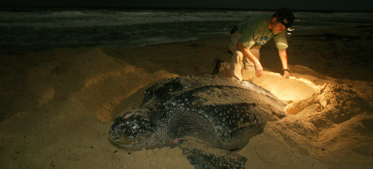 Leatherback sea turtle laying eggs