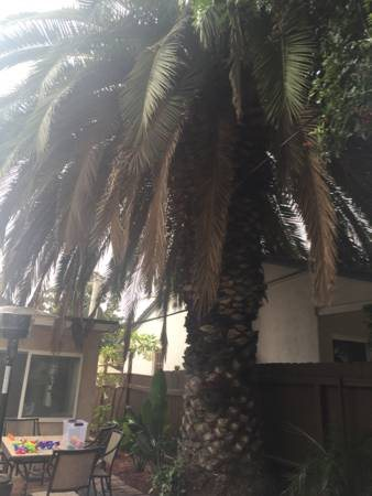 Trim Canary Palm Tree Cover Photo