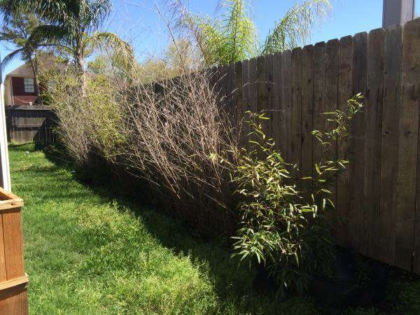 Need Bamboo Removed From Enclosed Barrier Area Cover Photo