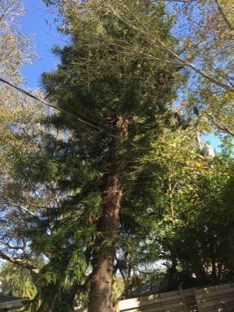 Pine Tree Removal Needed Cover Photo