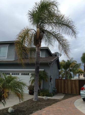 Queen Palm Tree Removal With Stump And Hauling Cover Photo