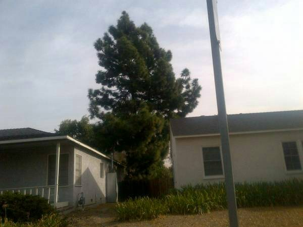 Pine Tree Removal Between Homes in Lakewood Village Cover Photo