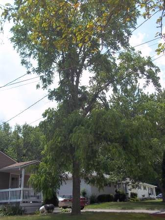 Large Black Walnut Tree Removal Cover Photo