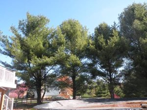 Pine Tree Removal Cover Photo