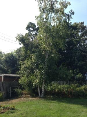 Birch Tree Removal Cover Photo