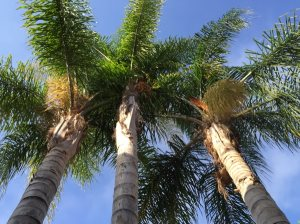 3 Palm Trees Removal Cover Photo