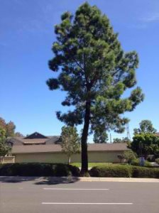 Cutting Dead Pine Tree Cover Photo
