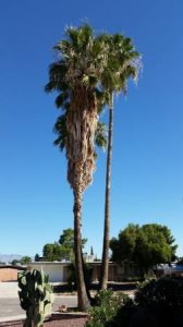 Cut Down And Haul Away 3 Tall Palm Trees Cover Photo