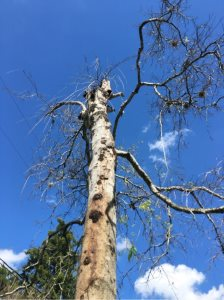 Rotten Tree Removal And Existing Stump Grinding Cover Photo