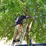Tree Trimming Cost Estimate