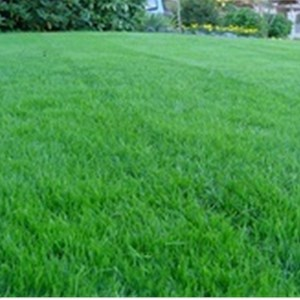 Deep Roots Lawn Cover Photo