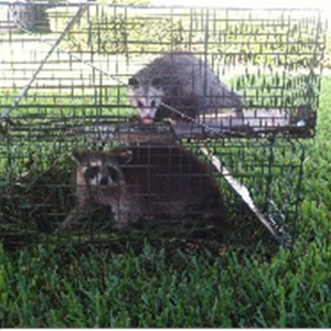 Critter Gitters Nuisance Wildlife Control Cover Photo