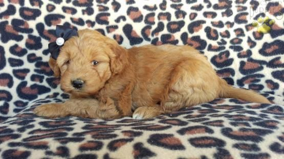 Molly - Mini Goldendoodle Puppy for Sale