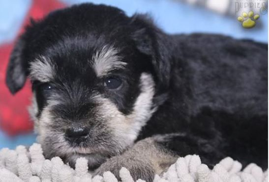 Benson - Miniature Schnauzer Puppy for Sale