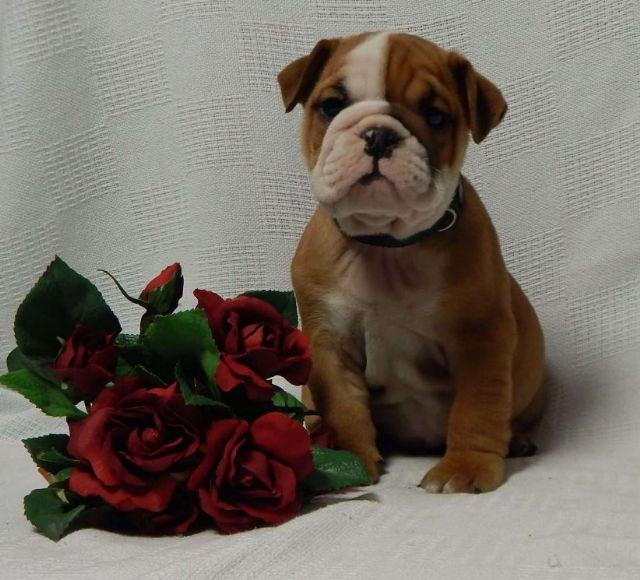 Tommy - English Bulldog Puppy