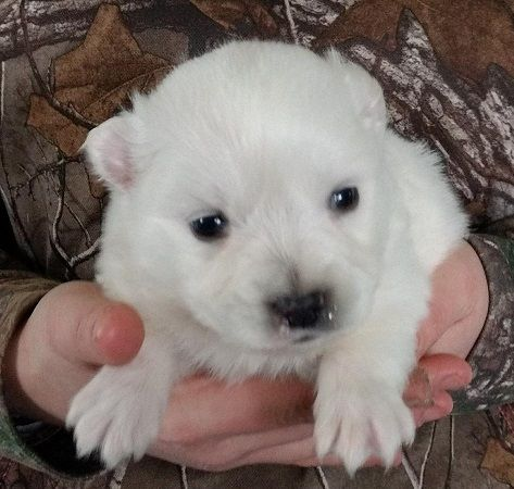 Eskimo Spitz's Puppies