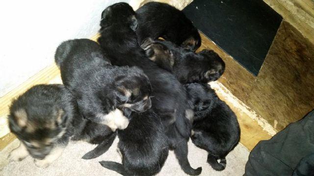 AKC German Shepherd puppies :