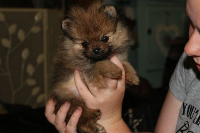 12 Weeks Old Pomeranian Puppies Available