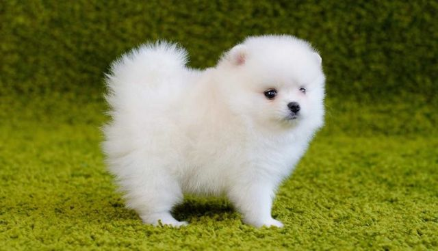 ,Affectionate Teacup Pom puppies Available