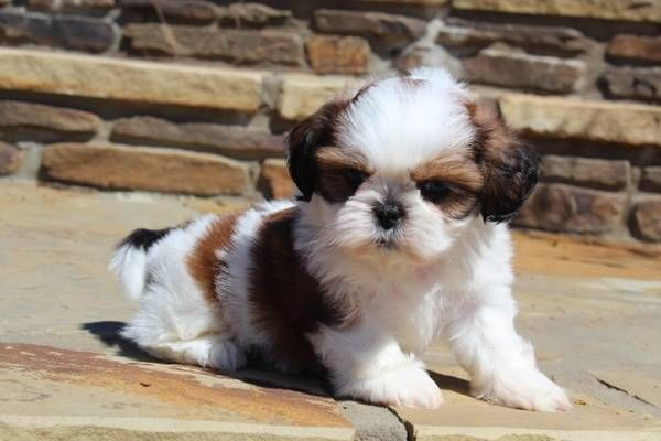 Tiny Teacup Shih Tzu Puppies Available Redding California Pets For