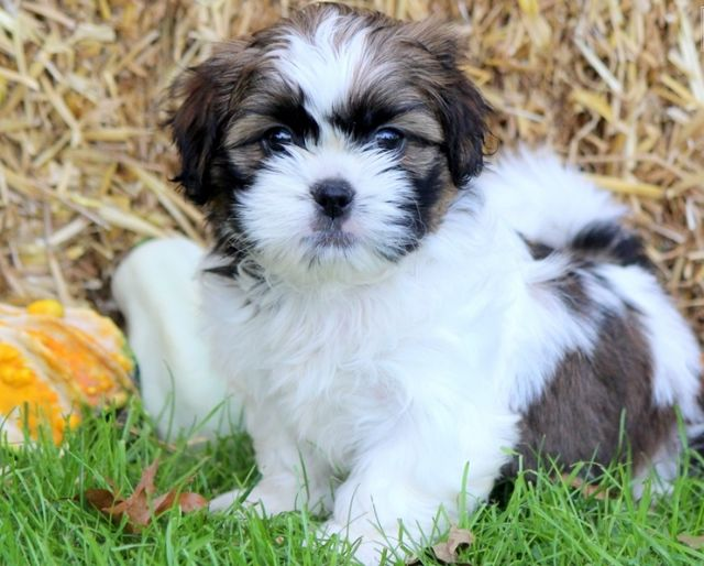 Meek Shih Tzu Puppies For Adoption South Bend Indiana Pets For Sale