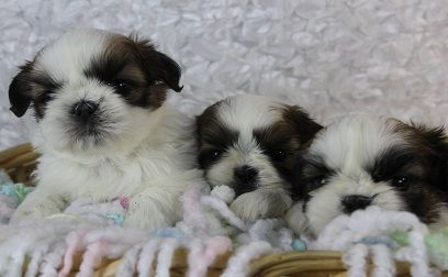 Shih Tzu Puppies For Sale Oceanside California Pets For Sale
