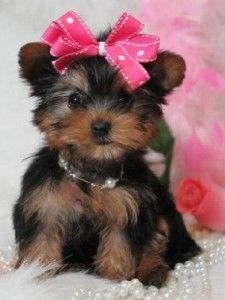 Cheap Yorkie Puppies For Sale Fort Myers Florida Pets For Sale