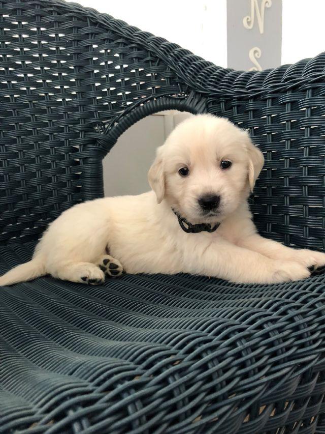 English Cream Golden Retriever Puppy Atlanta Georgia Pets For Sale