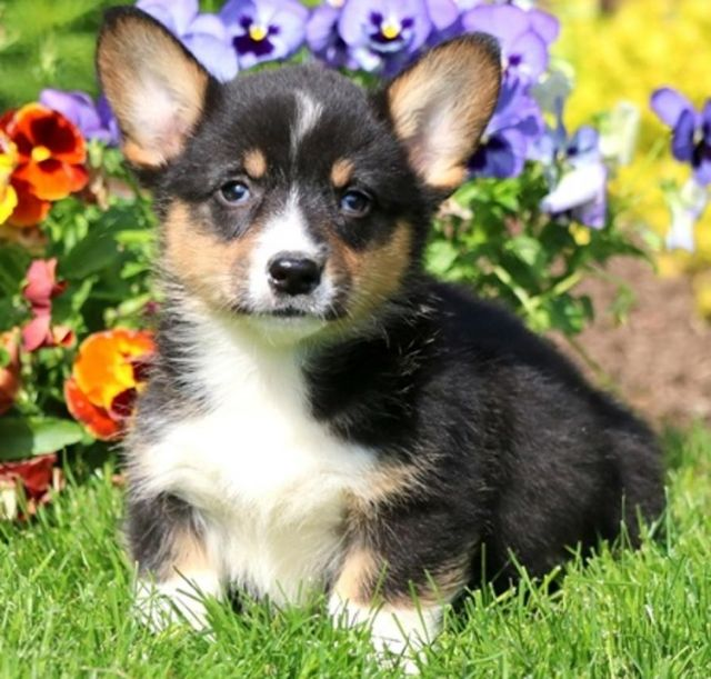 Akc Registered Pembroke Welsh Corgi Puppies Bloomington Indiana Pets