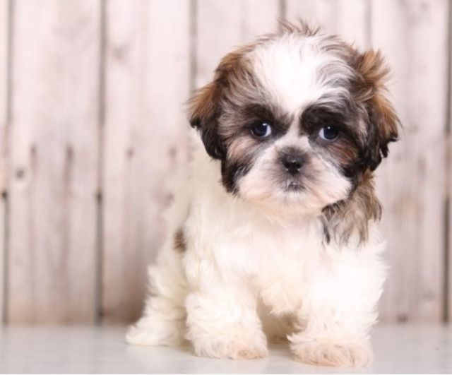 Excellent Shih Tzu Puppies Ready For Adoption Bloomington Indiana