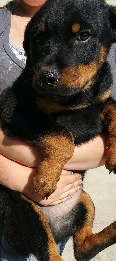Rottweiler Puppies For Adoption Columbus Indiana Pets For Sale