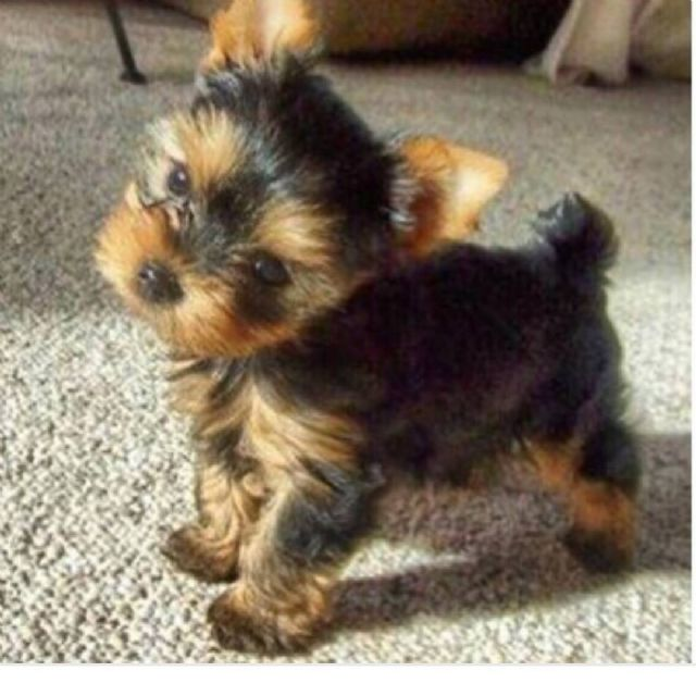 Tiny Adorable Baby Yorkie Puppies Portland Oregon Pets For Sale
