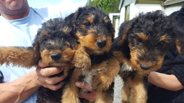 Airedale Terrier Puppies For Sale Jackson Tennessee Pets For Sale