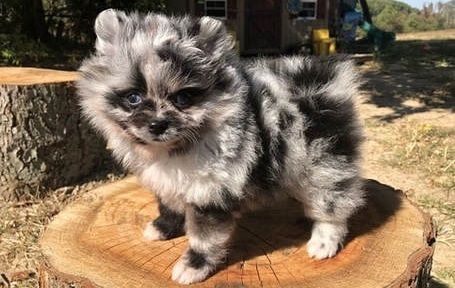 Trained Teacup Pomeranian Puppies Available Concord North Carolina