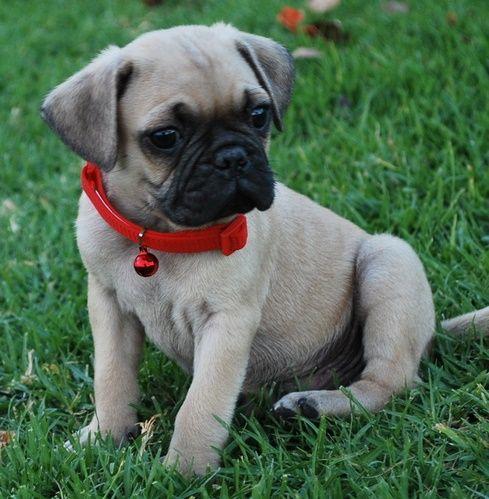 Gfcxv Pug Puppies For Sale Jacksonville Florida Pets For Sale