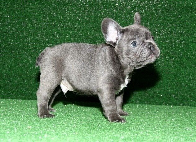 Dgdfhfgf Vip Lovely Blue French Bulldog Puppies Chicago Illinois