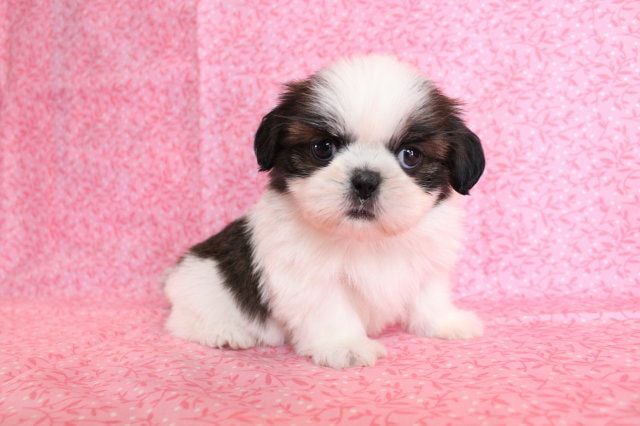 Supper Cute Shih Tzu Puppies For Sale San Luis Obispo California
