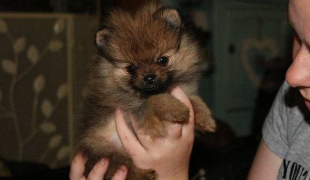Micro Pomeranian Puppies For Sale Wichita Falls Texas Pets For Sale
