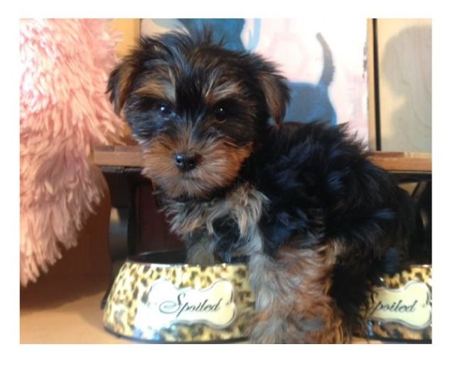 Pure Bred Yorkie Puppies Wichita Falls Texas Pets For Sale