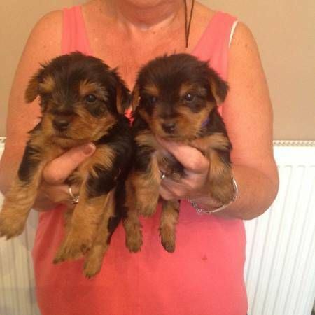 Teacup Yorkie Puppies For Sale Champaign Illinois Pets For Sale