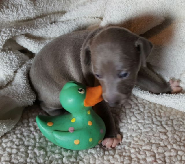 For Sale Italian Greyhound Puppies Available Soon Billings Montana