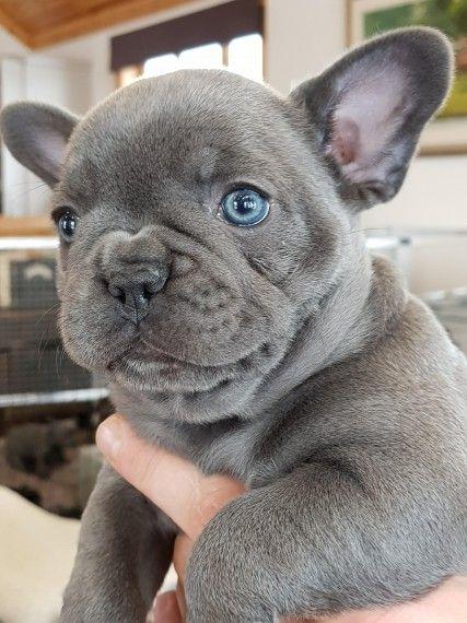 Attractive French Bulldog Pups Available Cincinnati Ohio Pets For