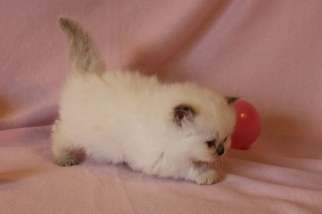 persian kittens los angeles