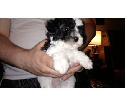 Trained Shih Tzu Pups For Sale Los Angeles California Pets For