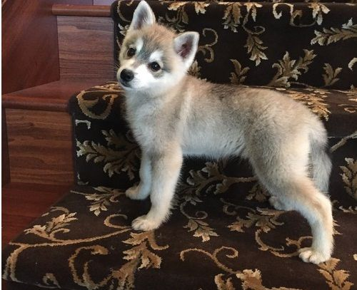 Super Alaskan Klee Kai Puppiessweet Los Angeles California Pets For