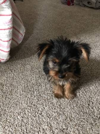 Teacup Yorkie Puppies Female And Male Available Los Angeles