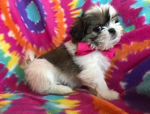 Super Shih Tzu Puppies For Adoption Los Angeles California Pets For