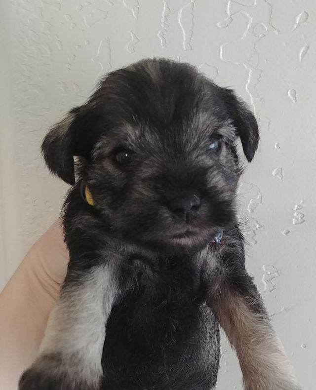 Miniature Schnauzer puppies- For Sale
