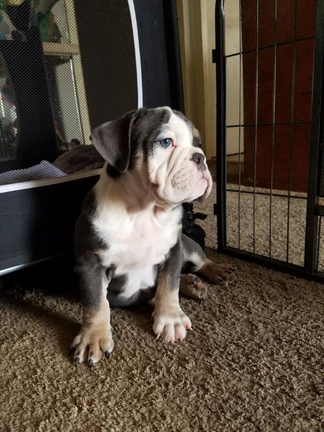 AKC english bulldog puppy