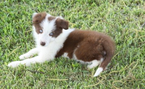 Clever Mf Border Collie Ready Puppies For Sale Los Angeles